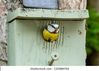 Adult Blue Tit bird seen just about to fly out of her nest box, attached to a garden tree. She has just feed her small clutch of young chicks which have hatched during late spring time.
