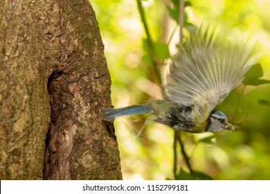 Adult Blue Tit flying away from nest carrying fecal sac in beak, shot with slow shutter speed to create motion blur.