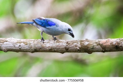 An adult blue-gray tanager (Thraupis episcopus) on a tree branch in Belize.
