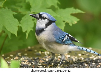 Adult blue-jay against a background of green leaves