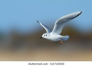 Adult Bonaparte's Gull (Chroicocephalus philadelphia) in non-breeding plumage at Cape May County, New Jersey, USA. Bird in flight against a blue and brown background.