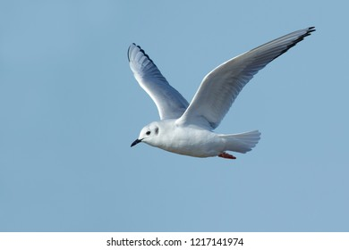 Adult Bonaparte's Gull (Chroicocephalus philadelphia) in non-breeding plumage at Cape May County, New Jersey, USA. Bird in flight against a blue background.