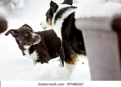 Adult Border Collie and Brown puppy Snow Day play; puppy glancing in to adult dog's eyes