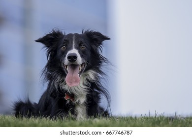 Adult Border Collie laying in grass