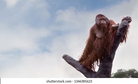 An adult Bornean orangutan climbed up to the top of the tree and sit down to see the forest from above at a day summer with blue sky. Pongo Pygmaeus