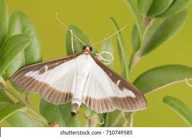 Adult of the box tree moth  (Cydalima perspectalis)