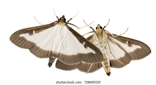 Adult of the box tree moth (Cydalima perspectalis) isolated on white