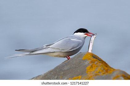 Adult breeding Arctic Tern (Sterna paradisaea) perched on a moss covered rock with small fish in its beak in Churchill, Manitoba, Canada.