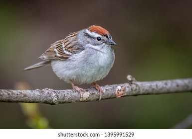 An Adult Breeding Chipping Sparrow Perched on a small branch over the Scajaquada Creek.  Forest Lawn Cemetery, Buffalo, New York, USA, May 12th 2019