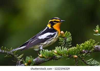 Adult breeding male Blackburnian Warbler perching on a tree branch