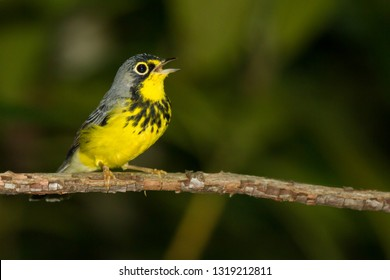 An adult breeding male Canada Warbler perching in a rhododendron thicket