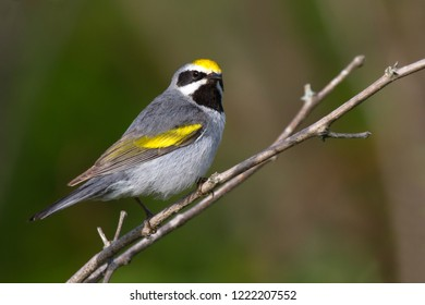Adult breeding male Golden-winged Warbler perching on a tree branch