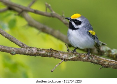 An adult breeding male Golden-winged Warbler perching on a branch