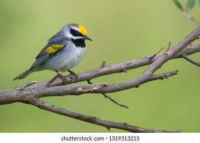 An adult breeding male Golden-winged Warbler perching on a tree branch