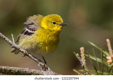 An adult breeding male Pine Warbler perching on a pine branch