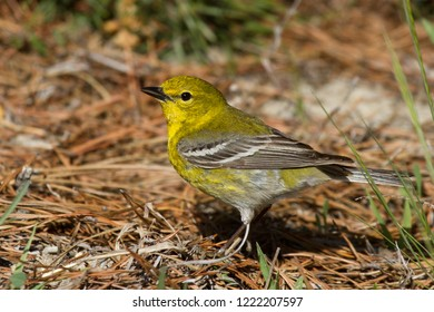 An adult breeding male Pine Warbler sitting on the ground among pine needles