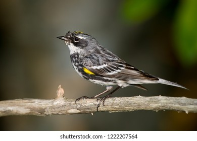 An adult breeding male Yellow-rumped Warbler perching on a tree branch