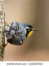 An adult breeding male Yellow-throated Warbler perching on a tree trunk