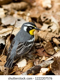 An adult breeding male Yellow-throated Warbler searching for insects among the leaf litter on the forest floor