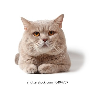 adult british cat on white background with shadow