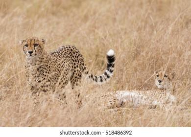 Adult brother cheetah resting afer succesfull hunting, Masai Mara National Reserve, Kenya, East Africa
