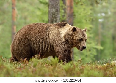 Adult brown bear with collar in forest landscape