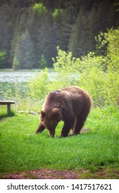 Adult brown bear eating grass near Sfanta Anna lake in Transylvania