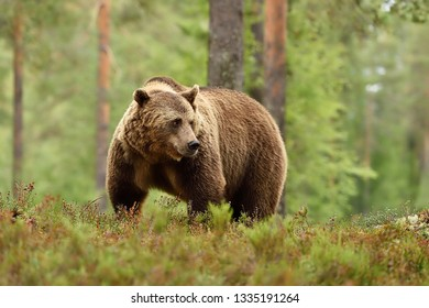 Adult brown bear in the forest background. Big male brown bear in forest.