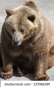 adult brown bear (Ursus arctos arctos).