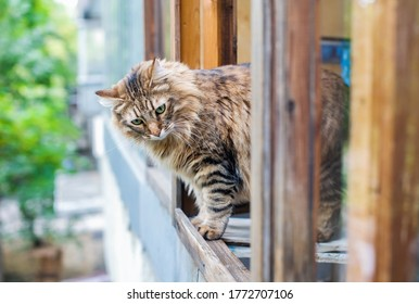 Adult brown cat stands in an open wooden window and looks down