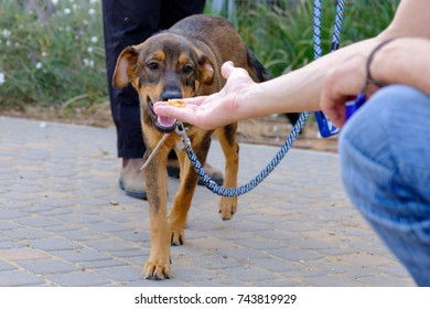 adult brown dog eating food from a man's hand
