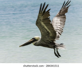 An adult brown pelican flying over the water of the bay.