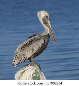 Adult Brown Pelican (Pelecanus occidentalis) perched on a dock piling - Cedar Key, Florida