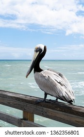 Adult brown pelican sitting on a fishing pier on the Atlantic Ocean in Florida, USA