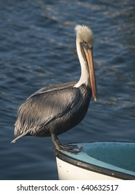 Adult brown pelican sitting on the front of a boat