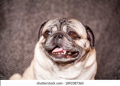 An adult brown pug on a dark striped chair, a beautiful smooth-haired dog sits at home, a large wrinkled muzzle and a protruding tongue.