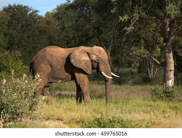 Adult bull of African Bush Elephant,Loxodonta africana, lit by sun against dark bush background. South Africa, Timbavati game reserve