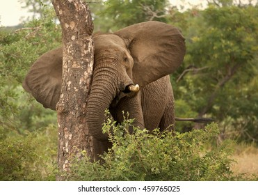Adult bull of African Bush Elephant,Loxodonta africana, rubs against a treel. South Africa, Timbavati game reserve