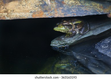An adult bullfrog with a juvenile on his (or her) back hides under a rock ledge overhanging a garden pond.
