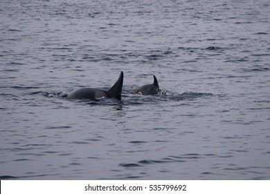 adult and calf orca or killer whale, Orcinus orca in Kaldfjord, Tromso, Norway, Atlantic Ocean