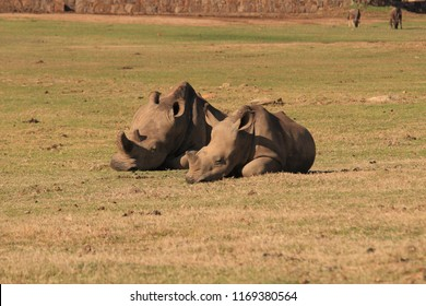 adult and calf of white rhinoceros or square-lipped rhinoceros, Ceratotherium simum, Botlierskop, Little Brak River, South Africa
