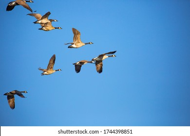 Adult canada geese (Branta canadensis) flying in a V formation in a blue sky, Wausau, Wisconsin, horizontal