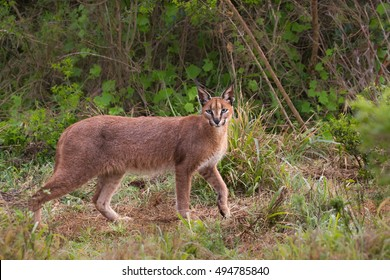 An adult Caracal (Caracal caracal) walking in savanna scrub against a partially blurred natural background, South Africa
