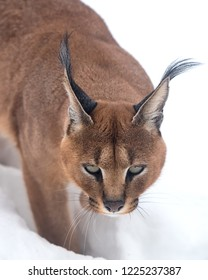 Adult Caracal Caracal walking in snow.