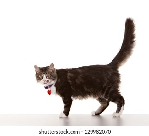 Adult cat against white background with collar and tags