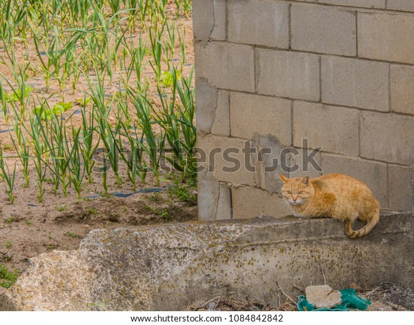 Adult cat with brownish orange fur resting ion concrete wall on sunny morning.