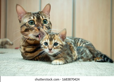an adult cat caresses its Bengal kitten