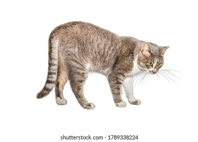 Adult cat, isolated. Cute gray cat on a white background. Studio photography cut for design or advertising
