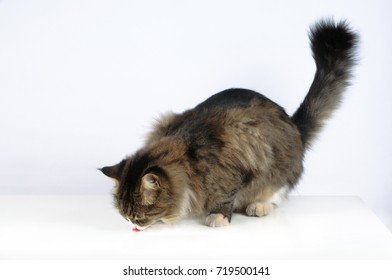 An adult cat sits and eats on a white background