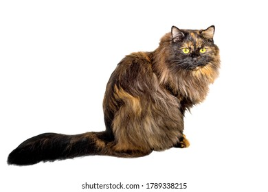 Adult cat tortoiseshell coloring, isolated. Cute tricolor cat on a white background. Studio photography cut out for design or advertising